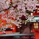 芸能神社の桜4