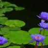 熱帯性睡蓮の世界8