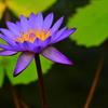 熱帯性睡蓮の世界10