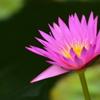 熱帯性睡蓮の世界9