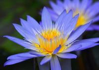 NIKON NIKON D7100で撮影した(極楽浄土の花3)の写真(画像)