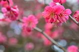 京都御苑の紅梅1