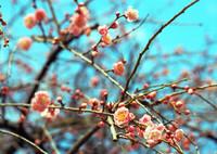 CONTAX RTSIIIで撮影した(梅の季節①)の写真(画像)