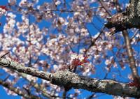 CONTAX RTSIIIで撮影した(遅春~老桜①~)の写真(画像)