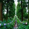 磯山神社の紫陽花並木
