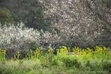 菜の花が咲き梅が散る