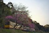 春暁...桜桃鉄