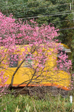 Amygdalus persica and Railway...Introduc