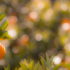 オレンチの近くのオレンジ畑