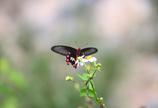 ボクを魅了するオキナワの蝶 1