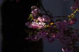 桜咲く 2
