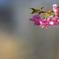 桜咲く 1