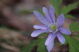 野草園の春‐キクザキイチゲ・青