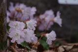 野草園の春‐オオイワウチワ