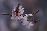 野草園の春‐十月桜