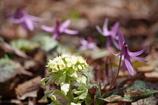野草園の春‐蕗の薹とカタクリ