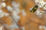 琥珀色の春