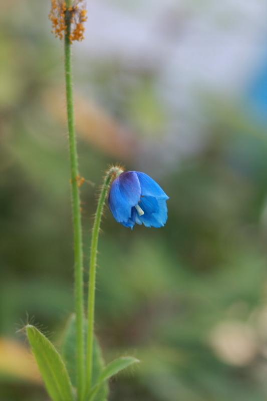 青い芥子の花