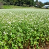 Buckwheat flower of this season