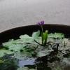 道路わきに並ぶ水生植物の鉢