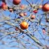 残された柿の実