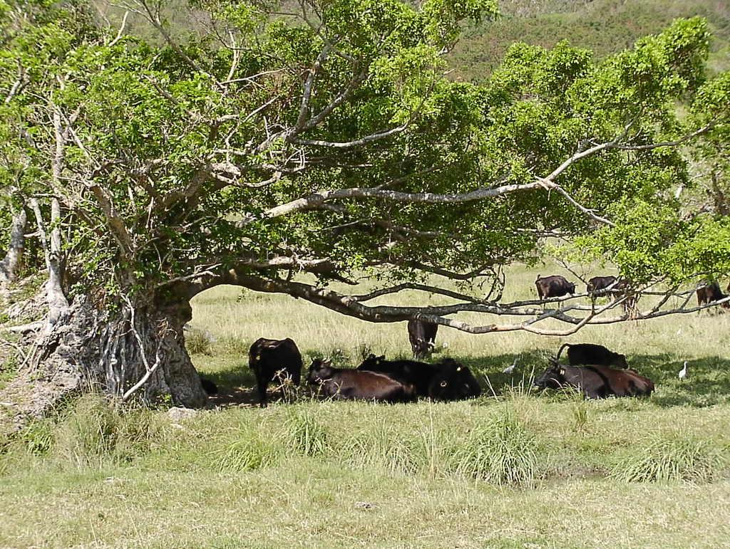 日差しを避けて木陰で休む黒牛