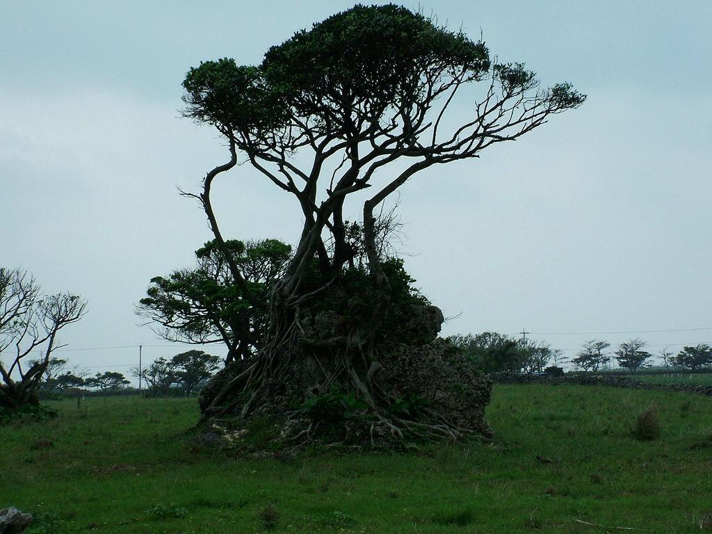 津波石を覆って生える木