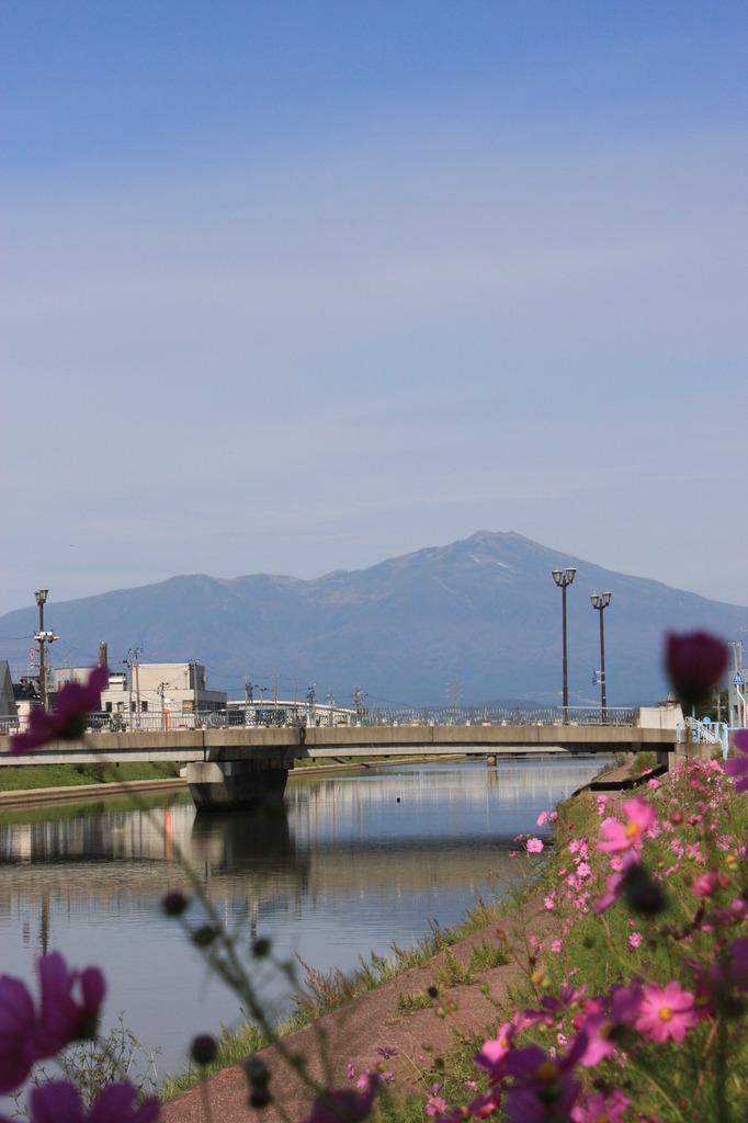 秋桜と鳥海山