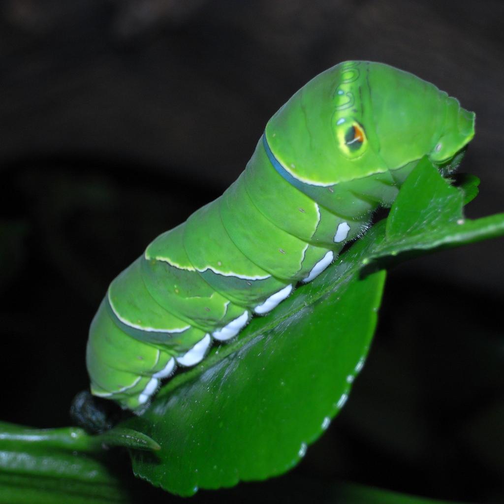 揚羽蝶の幼虫