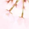 桜 チェリー