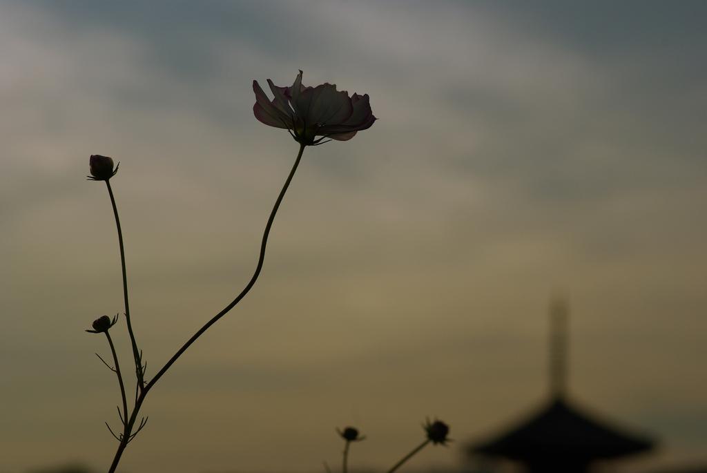 古都に秋桜