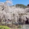 毘沙門堂の大枝垂桜