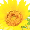 a sunflower