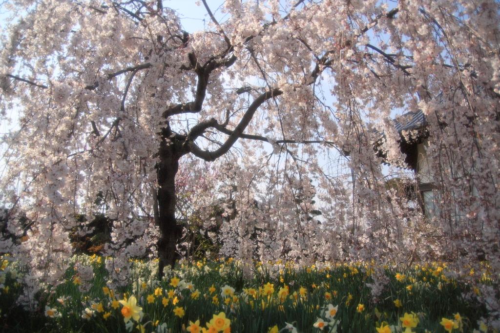 水仙と枝垂桜