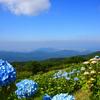 高原の紫陽花