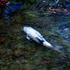 鯉カタマル