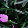 ピンクの落ち葉