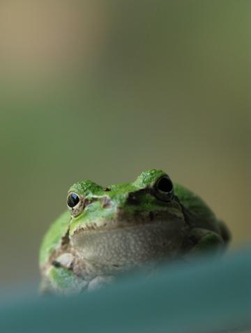 高原の避暑地(雨蛙)