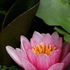 魅了する花(蓮)