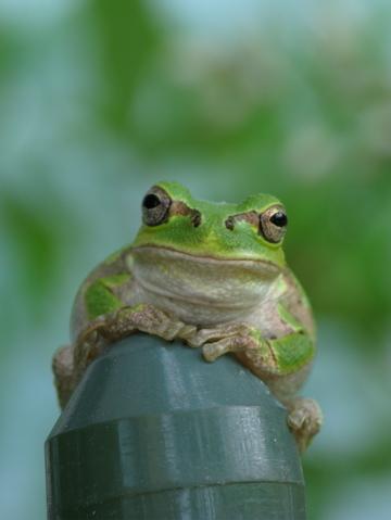 おっちゃん(雨蛙)