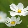 真っ白な花弁