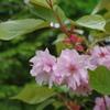 水も滴る八重桜