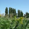 秋のポプラ並木