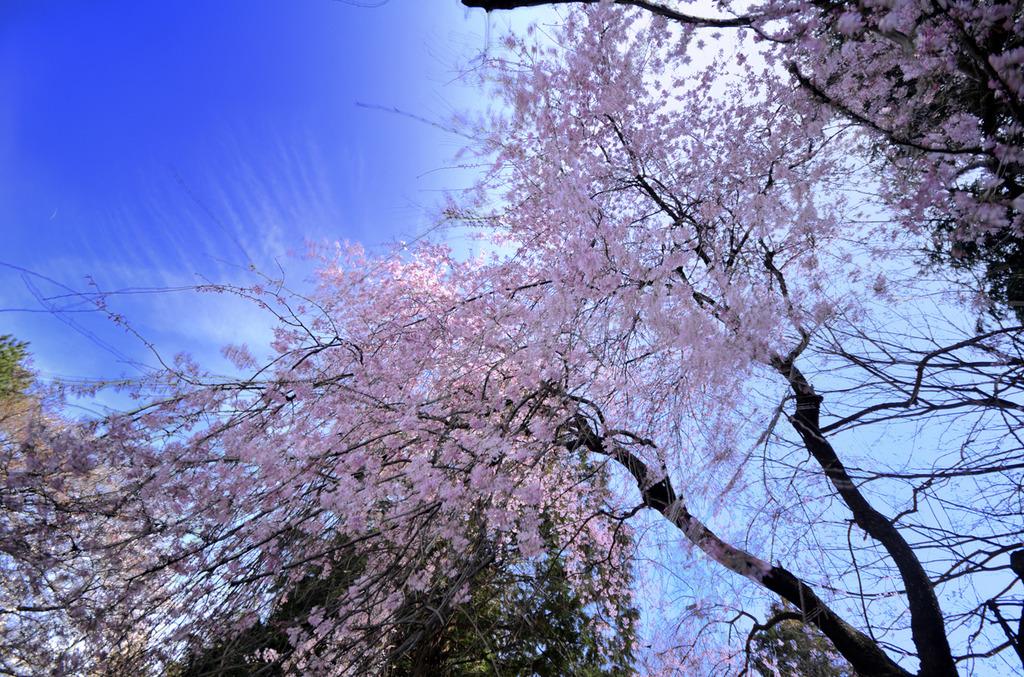 しだれ桜~降る