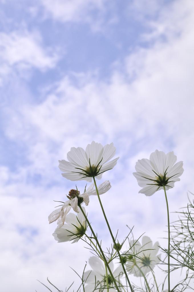 白いコスモス