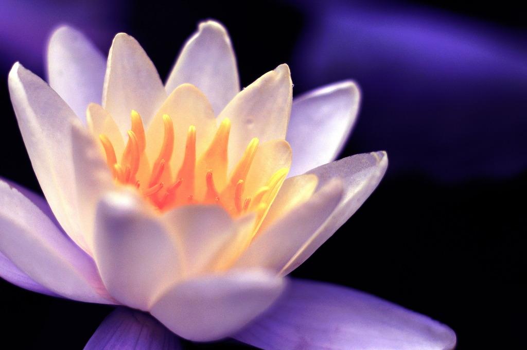 Lotus 蓮の花