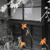オレンジ色のユリの咲く軒下