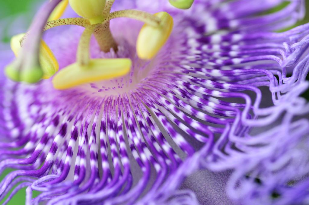 時計草(Passiflora caerulea)
