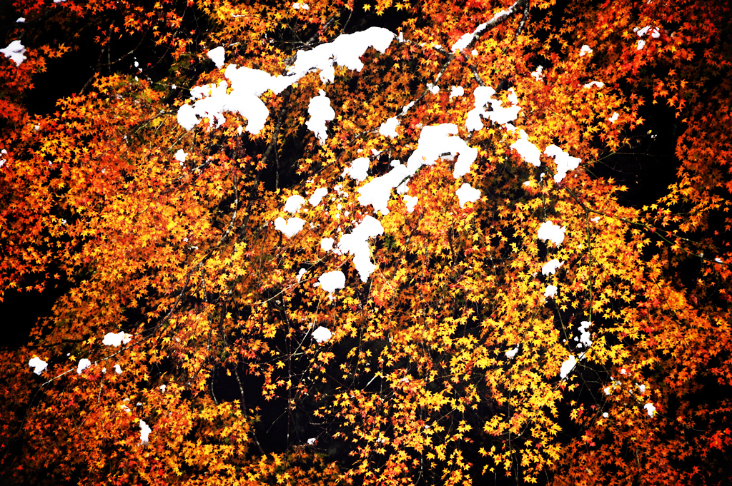 momiji colored golden and white