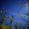 blue -yellow-denchu